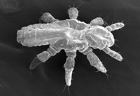 Nymph of a head louse